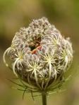 carrot-flower